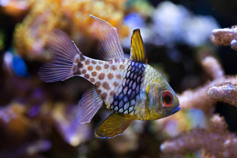 Pajama Cardinalfish Fishman S Reef