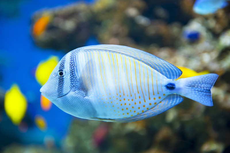 Sailfin Tang Fishman S Reef